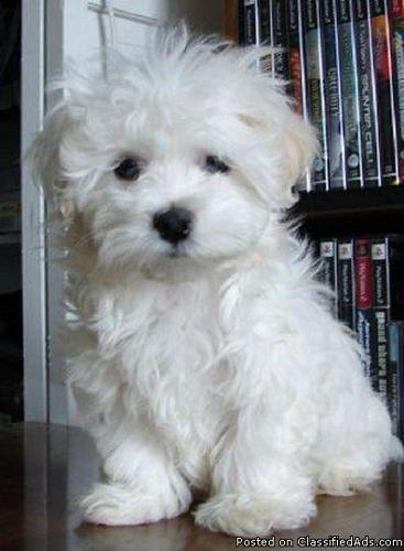 Tea CCup Maltese Puppies