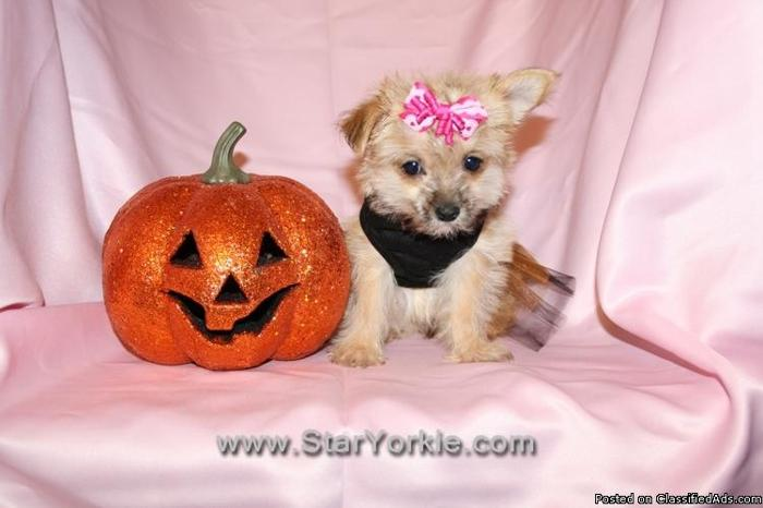 Teacup & Toy Morkie (Maltese & Yorkie) Puppies By Breeder in