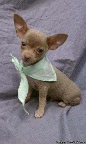 Teacup Chihuahua Puppies For Sale South Florida in Davie