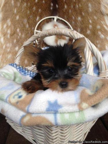 Teacup Gorgeous Akc Parti Yorkie Puppies Now In Springfield Virginia Cannonads Com