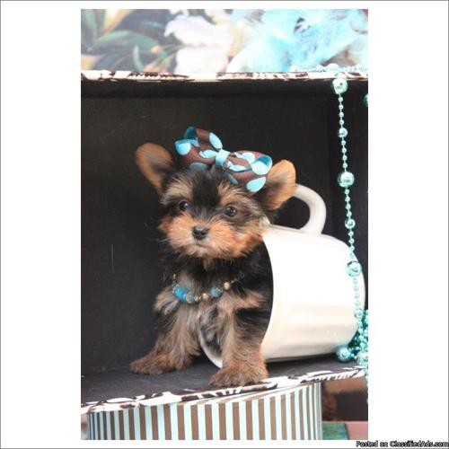 Teacup, micro, and toy breeds- Yorkies, Maltese, Pomeranians