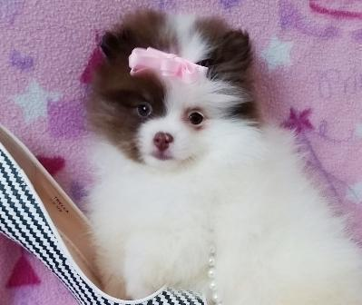 Teacup Pomeranian Puppies in Pittsburgh, Pennsylvania | CannonAds com