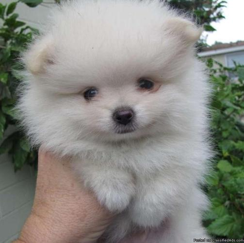 Teacup & Toy Pomeranian Purebred Puppies in West Bloomfield