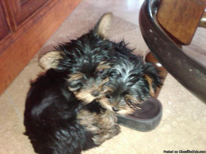 Teacup Puppies Prices | Dog Breeds - 197.6KB