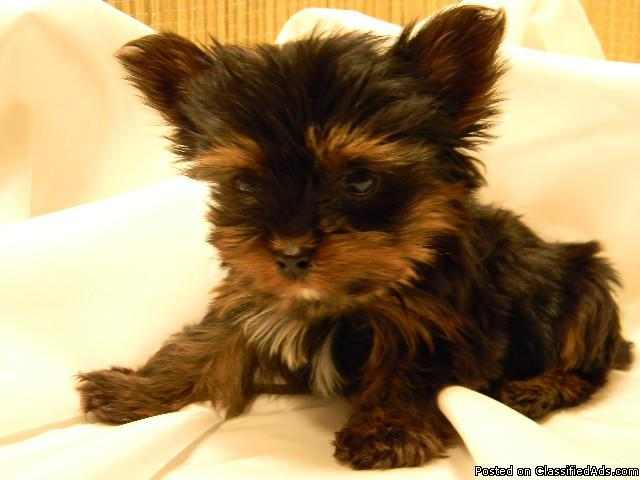 Teacup Puppies Prices | Dog Breeds - 128.2KB