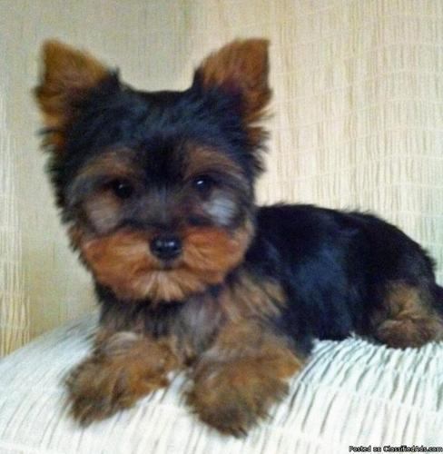 Teacup Yorkies For Sale In Pa Price 1500 In New Freedom