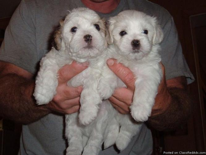 Teddy Bear Puppies for sale - Price: $400 in Brantwood