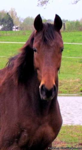 Thoroughbred gelding - Price: 600.00