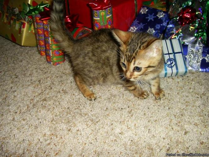 TICA Registered Bengal Kitten For the Holidays - Price: 400.00