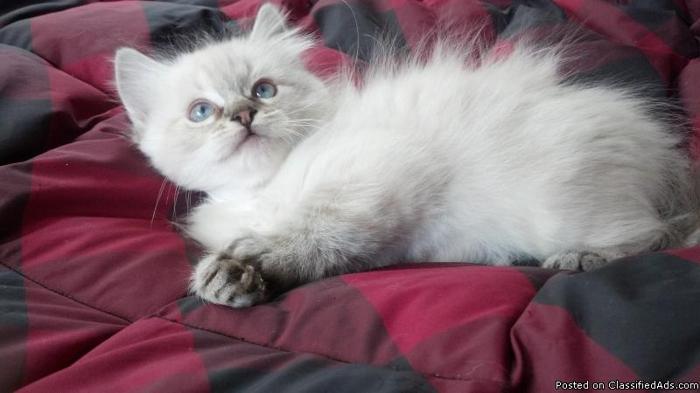 TICA Registered Ragdoll Kitten in East Stroudsburg