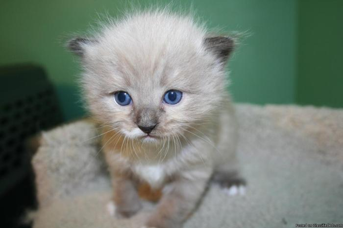 TICA Registered Ragdoll Kittens in Meridian, Idaho