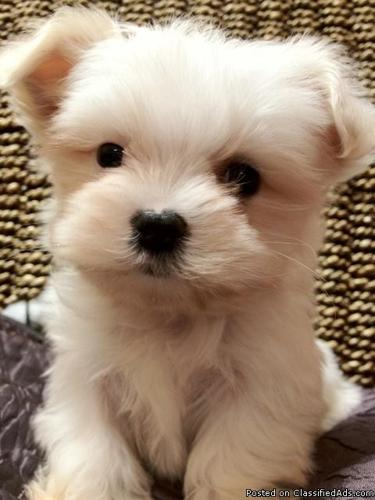 TINY AND ADORABLE MALTIPOO BABBIES  NON SHED in Winston Salem, North