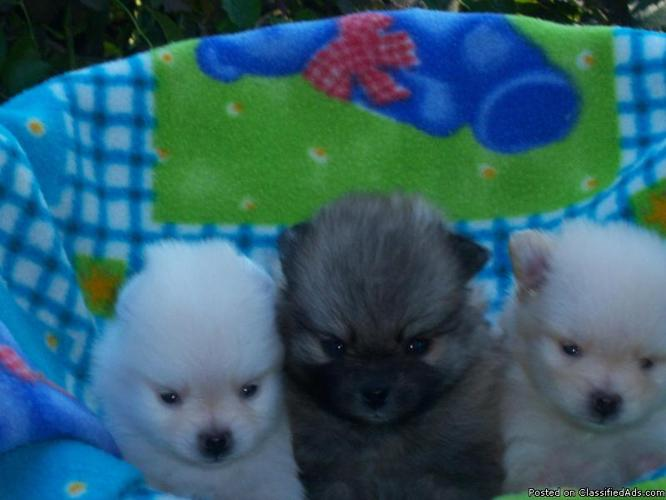 Teacup Pomeranian Mix Puppies Tennessee