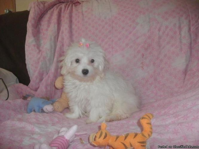 TINY MALTIPOO FEMALE PUPPY  SHE CAN NOW GO HOME in Bartow