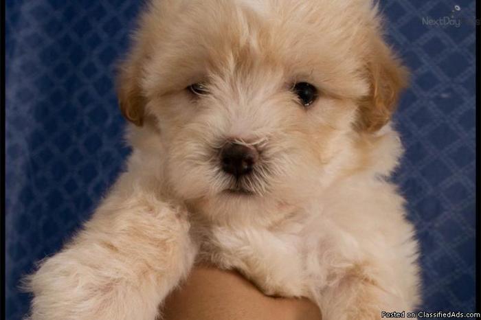 Tiny Maltipoo Puppies (Maltese & Poodle) 9 Weeks Old