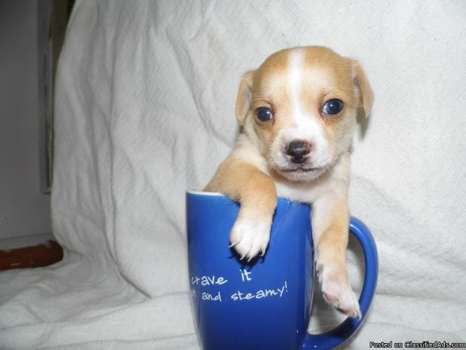 Tiny Teacup Chihuahua puppies in Dry Fork, Kentucky | CannonAds com