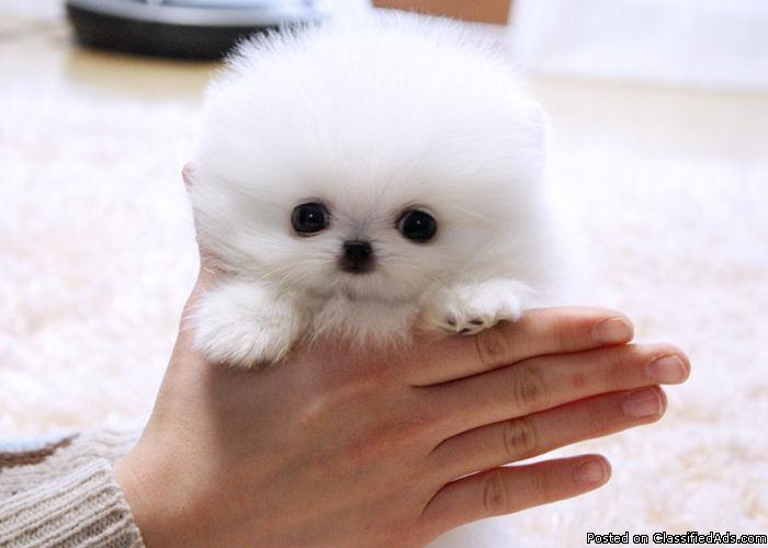 pics photos   dog ready for adoption pomeranian spitz