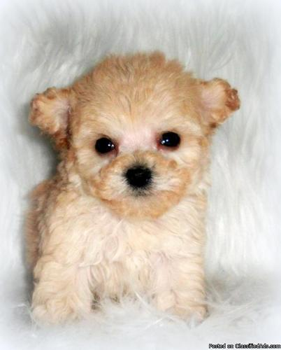 Tiny Teacup Poodle in Palm Springs, California | CannonAds com