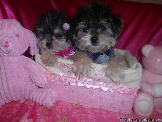 Tiny Teacup Yorkiepoo Girl 3 4lbs Full Grown 8wks 248 383 5505 In