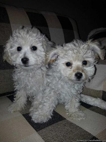 TINY TOY MALTIPOO PUPPIES MALTESE PARTY TOY POODLE PUPS in
