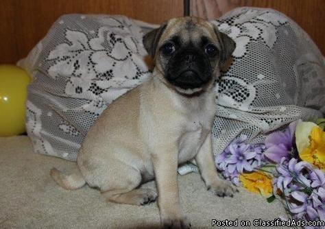 Top Quality pug Puppies Available for sale