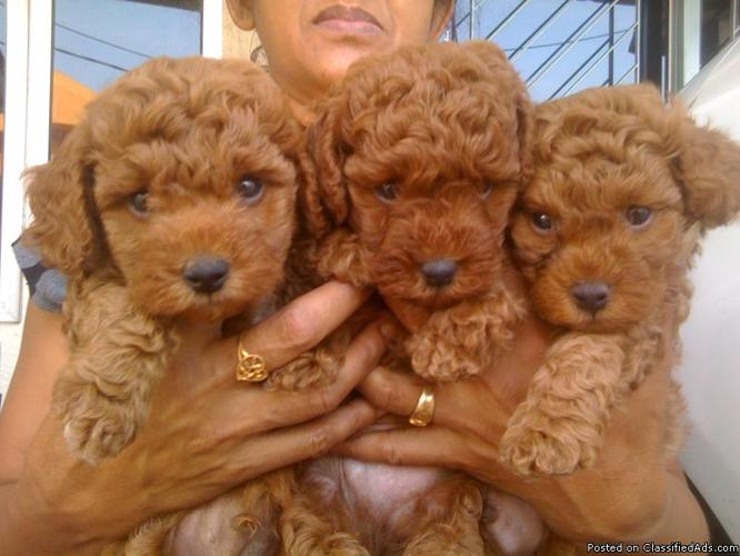Toy Poodle Puppies (2 Females and 1 Male) in Toledo, Ohio