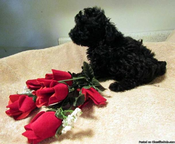 Toy Poodle Puppies - Price: 400.00