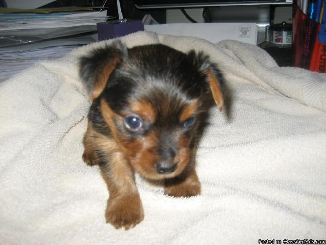 Toy Yorkshire Terrier Puppy - Price: 450 00 in Forked River