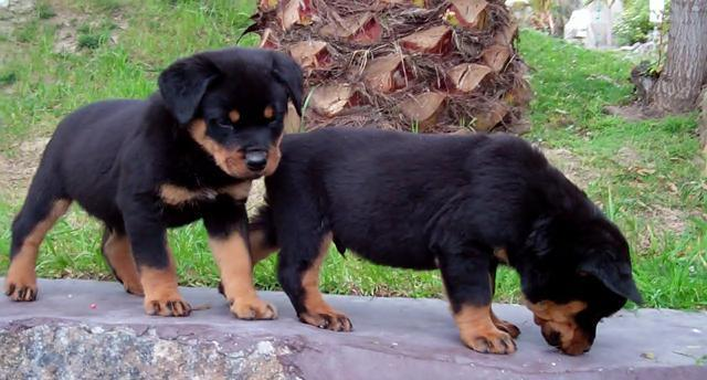 Two AKC German Rottweiler Puppies in Boston, Massachusetts