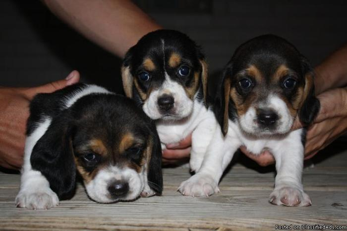 UKC Beagle Puppies for sale - Price: $350 in Fort Worth