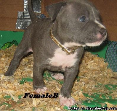 UKC purple ribbon Bully Pitbull pups Razor Edge/Gotti