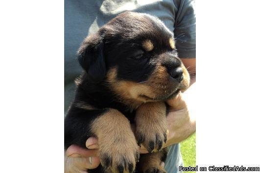 Well Tamed Rottweiler Puppies In Brenham Texas Cannonadscom