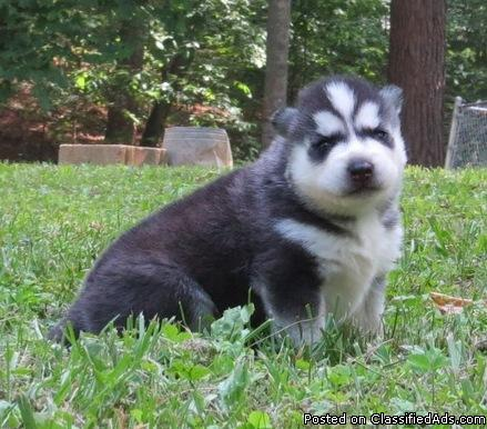 well trained siberian husky puppies avialable now