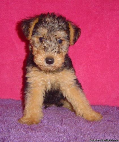 Welsh Terrier Pups - Price: $500