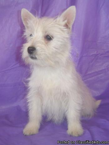 West Highland White Terrier Pups - Price: $400