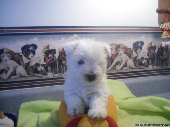 Westie puppies for sale in Big Springs, Missouri | CannonAds com