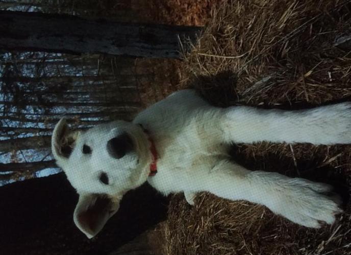 White German Shepherd Puppies For Sale In Half Way Missouri