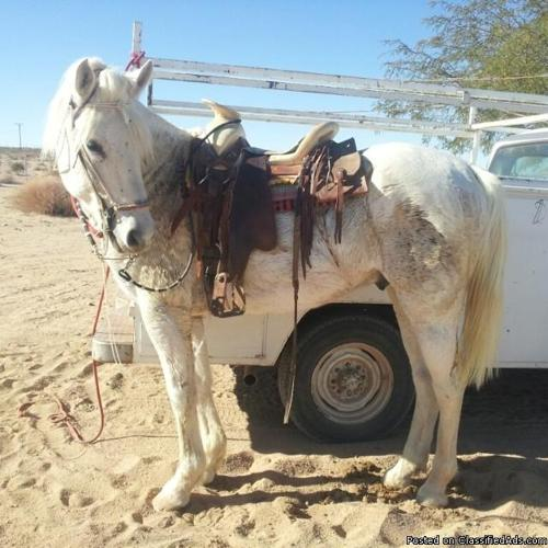 WHITE STALLION FOR SALE (SE VENDE UN CABALLO BLANCO ENTERO)