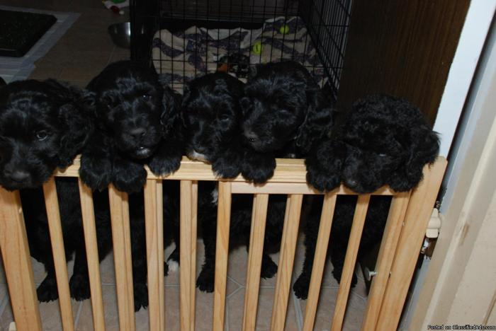 Whoodle Puppies, Wheaten Terrier/Standard Poodle