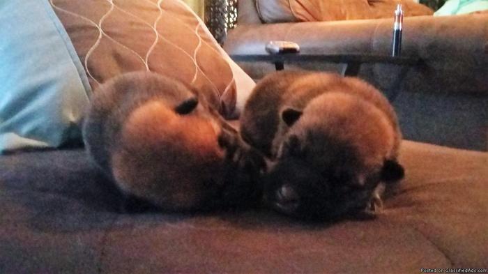 Wolf dog/German Shepherd puppies for sale in Grafton, West Virginia