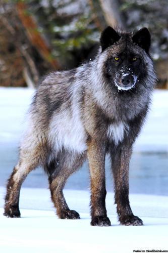 Wolf Dog Pups