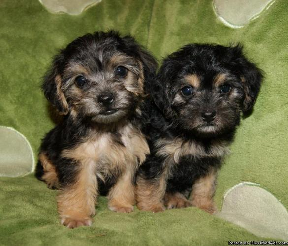 Yorkie-Poo puppies - Price: 200 in Nacogdoches, Texas
