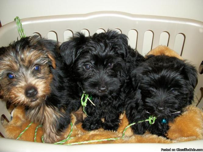Yorkie Poo Puppies For Sale Price 50000 In Ilion New York