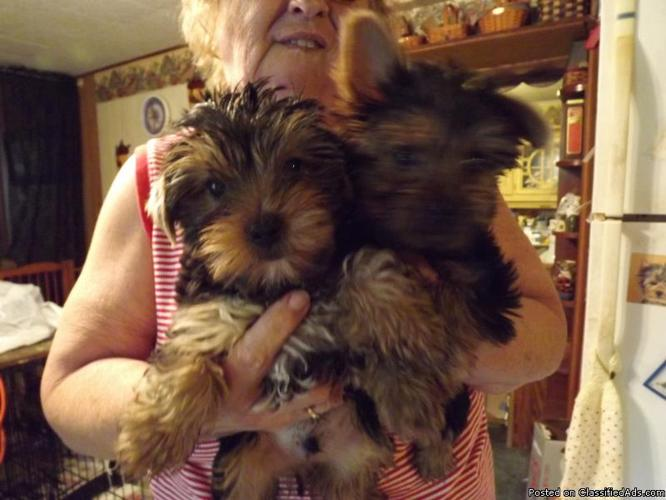 Yorkie AKC reg Pups (Coshocton County) - Price: $450