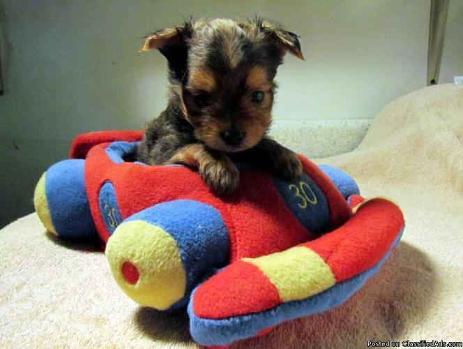Yorkie/Chihuahua cross puppies (Chorkies) - Price: 350.00