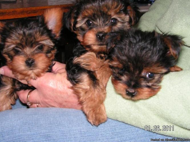 Yorkie Pup--XXSmall - Price: 250.00