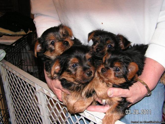 Yorkie Pups--11 wks old - Price: 200.00