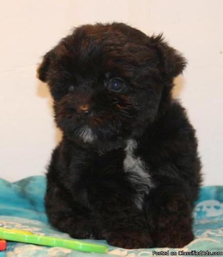 Yorkipoo puppies ready for new homes.