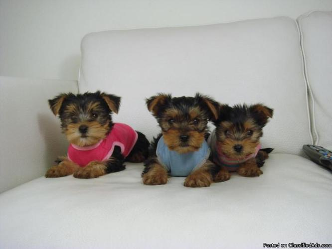 Yorkshire Terrier puppies available in Lexington, Kentucky