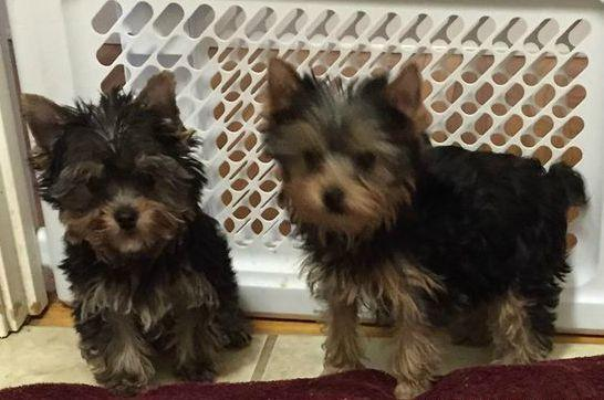Yorkshire Terrier puppies (toy) in Bowling Green, Kentucky